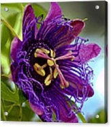 Purple Passion Acrylic Print by Michelle Harrington