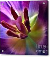 Purple Passions Acrylic Print