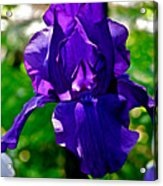 Purple Pink Iris  Acrylic Print