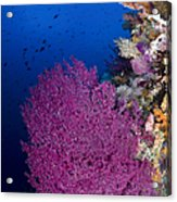 Purple Sea Fan In Raja Ampat, Indonesia Acrylic Print