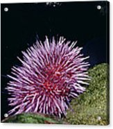 Purple Sea Urchin Feeding California Acrylic Print