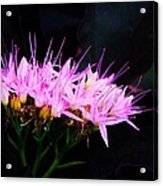 Purple Sedum Acrylic Print