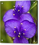 Purple Spiderwort 1 Acrylic Print