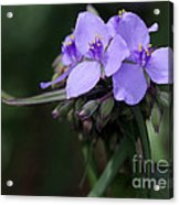 Purple Spiderwort Flowers Acrylic Print