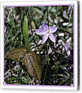 Purple Spring Trail Flower Acrylic Print