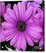 Purple Trio Acrylic Print