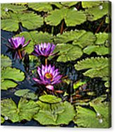Purple Water Lilies - Nymphaea Capensis  Acrylic Print