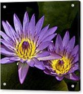 Purple Water Lilies Acrylic Print