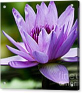 Purple Petals Water Lily Acrylic Print