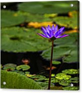 Purple Waterlily Acrylic Print