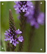 Purple Wildflower Acrylic Print by Dean Bennett