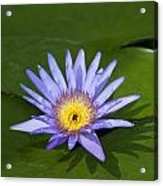 Purple Yellow Lotus Flower Acrylic Print