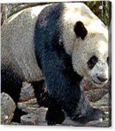 Puttin On The Panda Ritz Acrylic Print
