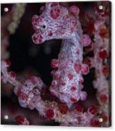 Pygmy Seahorse, Australia Acrylic Print
