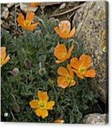 Pyrenean Poppy (papaver Lapeyrousianum) Acrylic Print