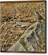 Quail On Rock Acrylic Print