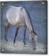 Quarter Horse In Blue Acrylic Print by Betty LaRue
