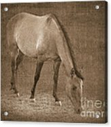 Quarter Horse In Sepia Acrylic Print by Betty LaRue