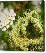 Queen Anne's Lace Going To Seed Acrylic Print