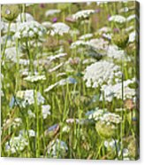 Queen Anne's Lace In All Its Glory Acrylic Print