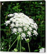 Queen Anne's Lace Acrylic Print