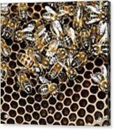 Queen Bee With Worker Bees Acrylic Print