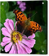 Question Mark Butterfly And Zinnia Flower Acrylic Print