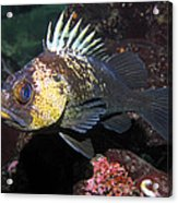 Quillback Rockfish  Acrylic Print