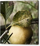 Quince Fruit Acrylic Print
