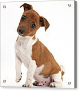 Quizzical Puppy Acrylic Print