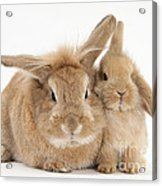 Rabbit And Baby Rabbit Acrylic Print