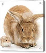Rabbit And Dwarf Hamster Acrylic Print