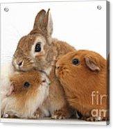 Rabbit And Guinea Pigs Acrylic Print