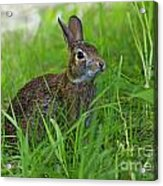 Rabbit Eating Grass In The Forest Acrylic Print