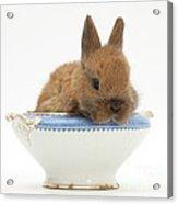Rabbit In A China Bowl Acrylic Print