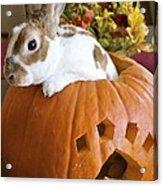 Rabbit Joins The Harvest Acrylic Print by Alanna DPhoto