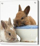 Rabbits And China Bowl Acrylic Print