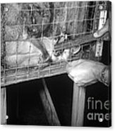 Rabid Fox, 1958 Acrylic Print