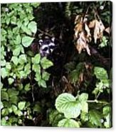 Raccoon Amongst The Green Acrylic Print