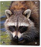 Raccoon Portrait Acrylic Print