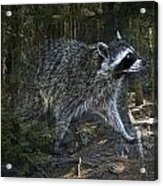 Racoon Emerging From The Woods Acrylic Print