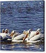 Raft Of Pelicans Acrylic Print