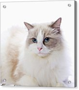 Ragdoll Cat And Keyboard Of The Pc Acrylic Print