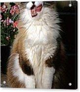 Ragdoll Cat Licks His Lips Acrylic Print