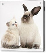 Ragdoll-cross Kitten And Young Acrylic Print