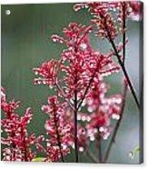 Rain Drops On Firespike  Acrylic Print