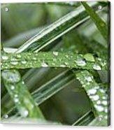 Rain Drops On Grasses Acrylic Print