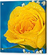 Rain On A Yellow Rose Acrylic Print