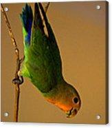 Rainbow Bird Acrylic Print