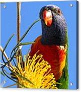 Rainbow Lorikeet Pose Acrylic Print